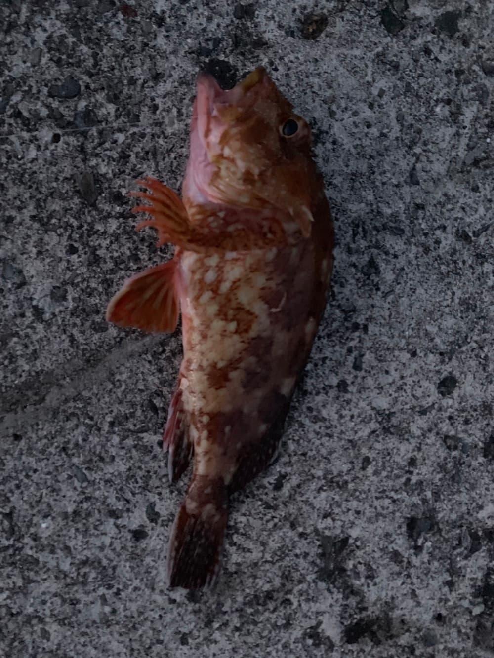 戸田灯台 カサゴ 釣り
