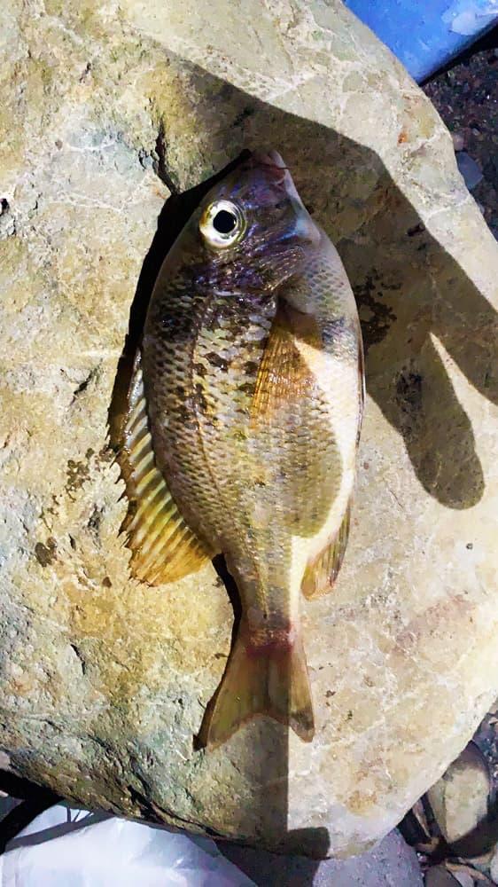 アサリ 釣り餌