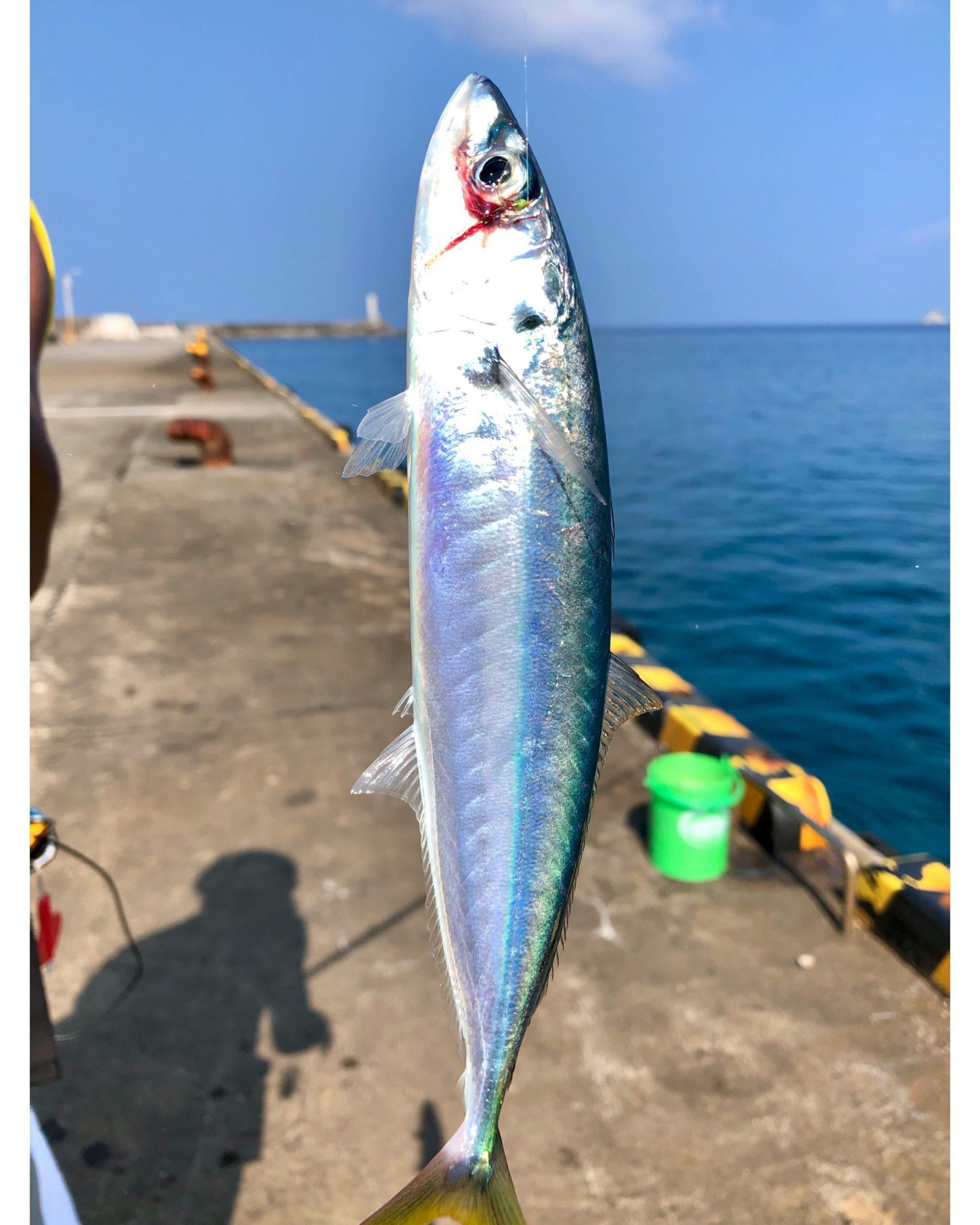 【八丈島釣りシリーズ】底土港 夕まずめ #1