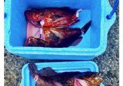 吉田海岸 根魚